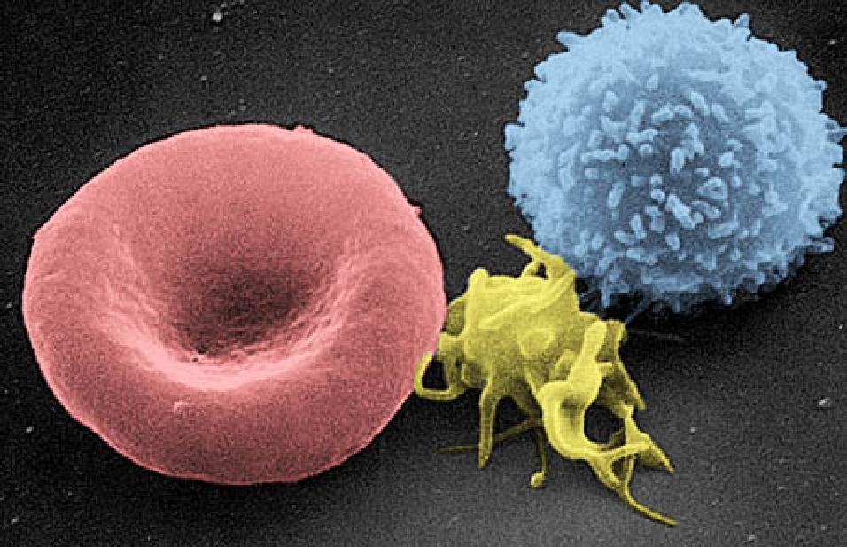 Červená krvinka (vlevo), krevní destička (uprostřed) a bílá krvinka (vpravo)
